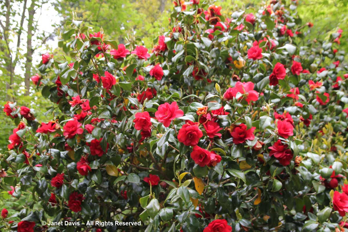 Camellia japonica-David Lam Asian Garden-UBC Botanical
