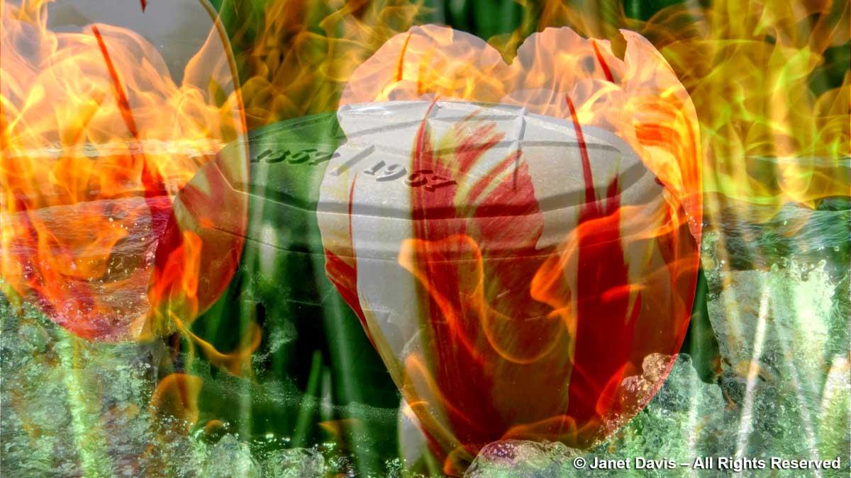 Canada Flame & 'Canada 150' tulip-montage-Tulip Festival