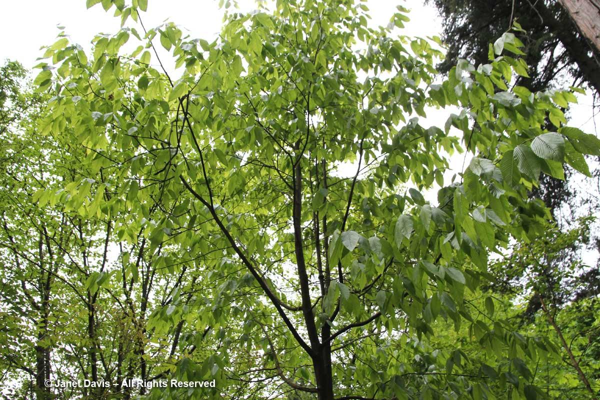 Carpinus fangiana-David Lam Asian Garden-UBC Botanical