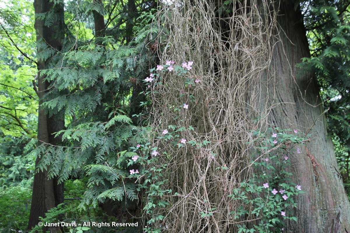 Clematis montana-David Lam Asian Garden-UBC Botanical
