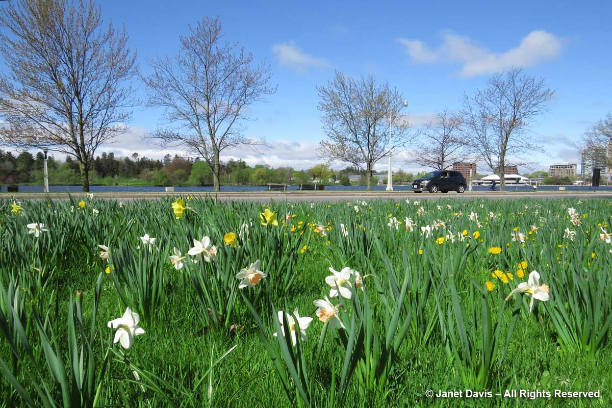 Commissioner's Park-daffodils-Tulip Festival 2017
