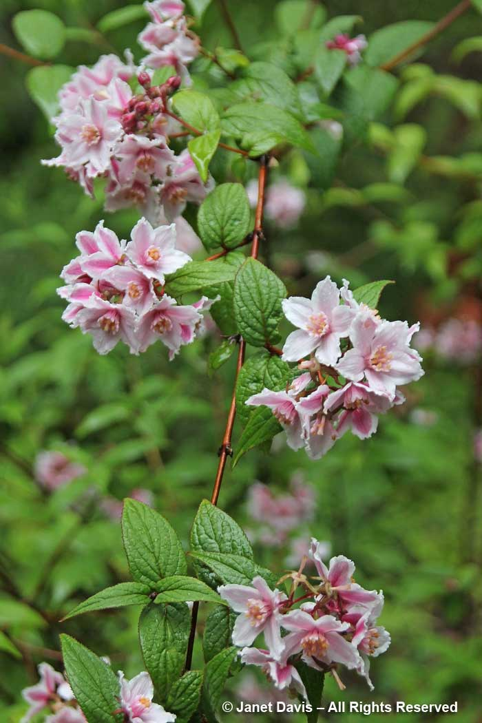 deutzia calycosa-david lam asian garden-ubc botanical | janet