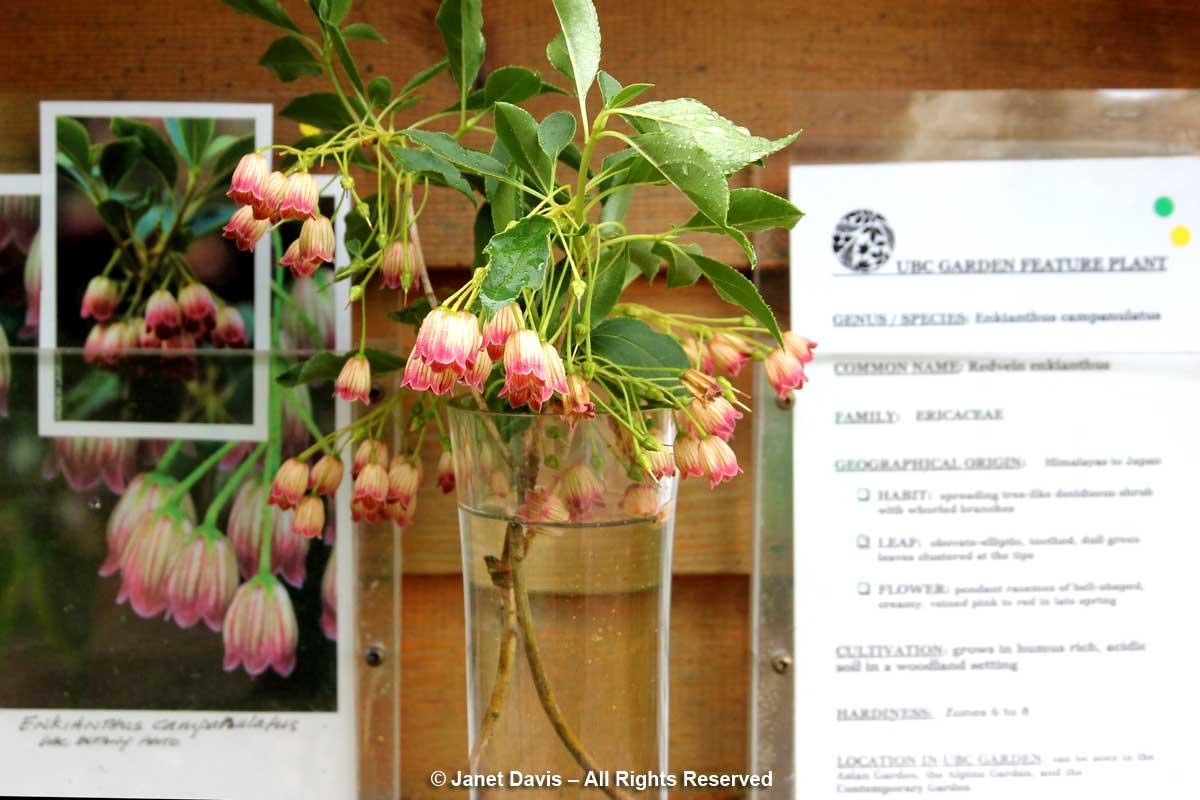 Enkianthus campanulatus-David Lam Asian Garden-UBC Botanical