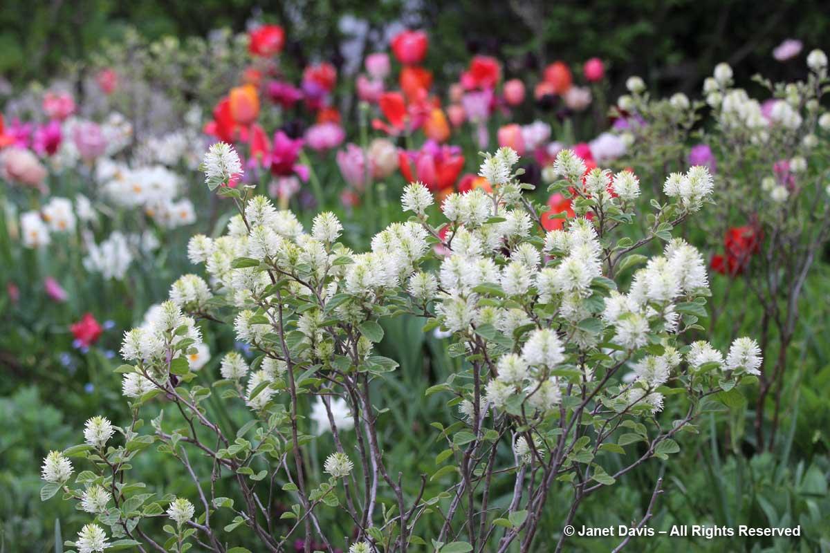 Fothergilla gardenii-Janet Davis garden-Toronto