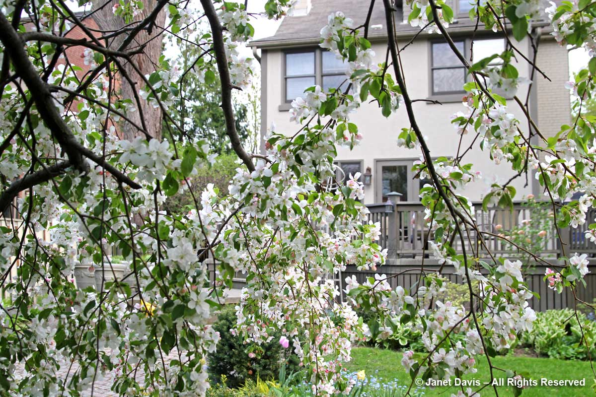 Janet Davis House-through crabapple