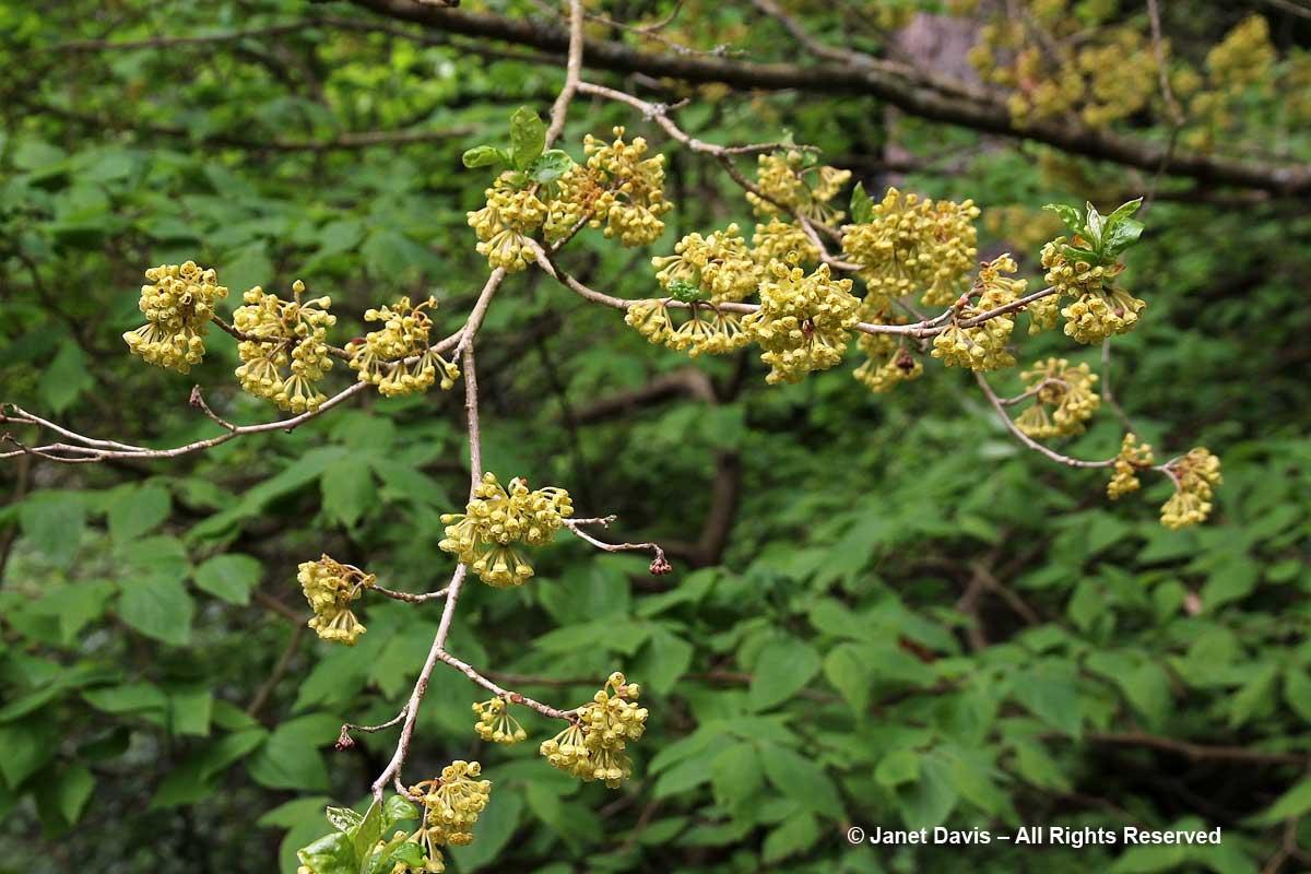 Lindera erythrocarpa-David Lam Asian Garden-UBC Botanical