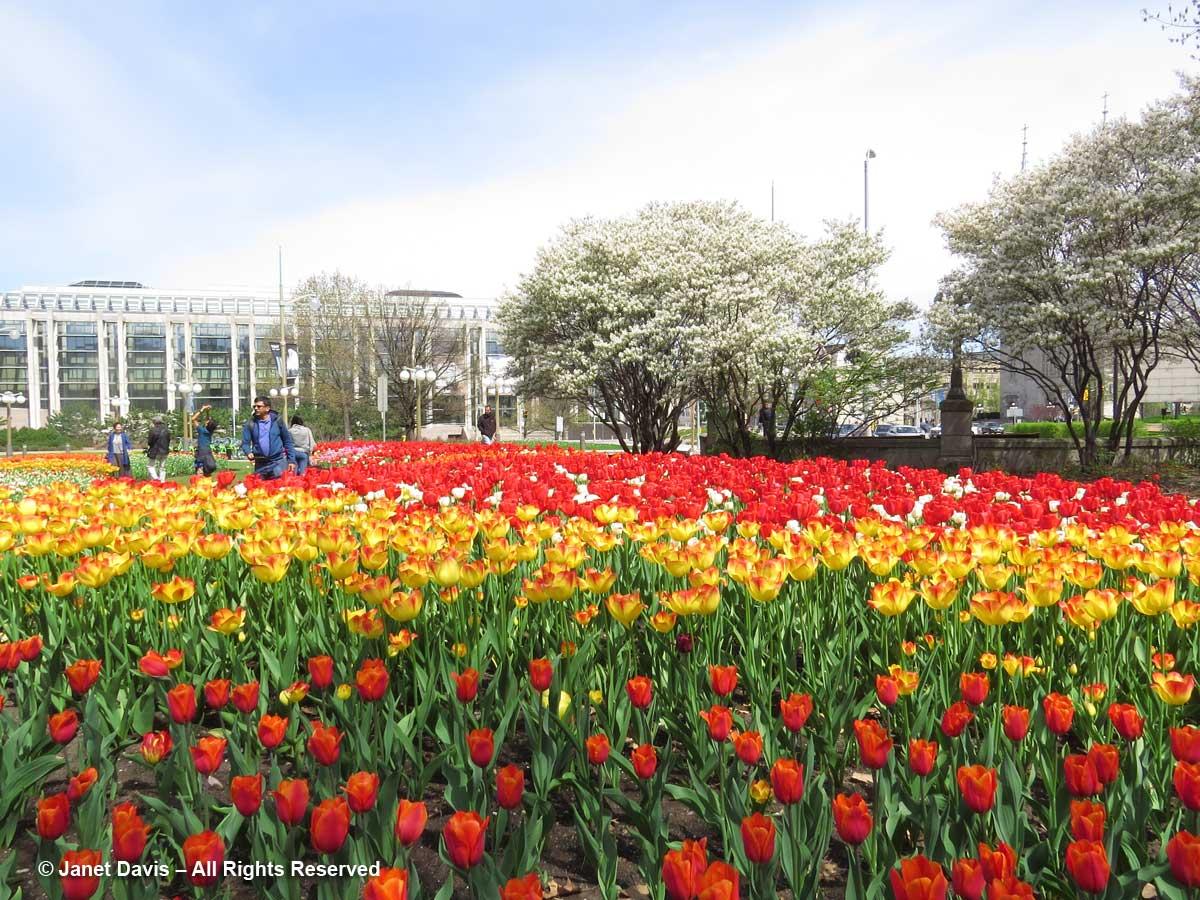 Major's-Hill-Park2-Tulip-Fe