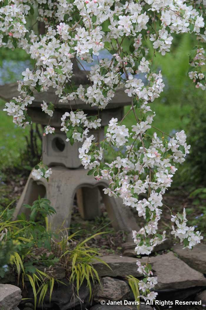 Malus 'Red Jade'-Janet Davis garden