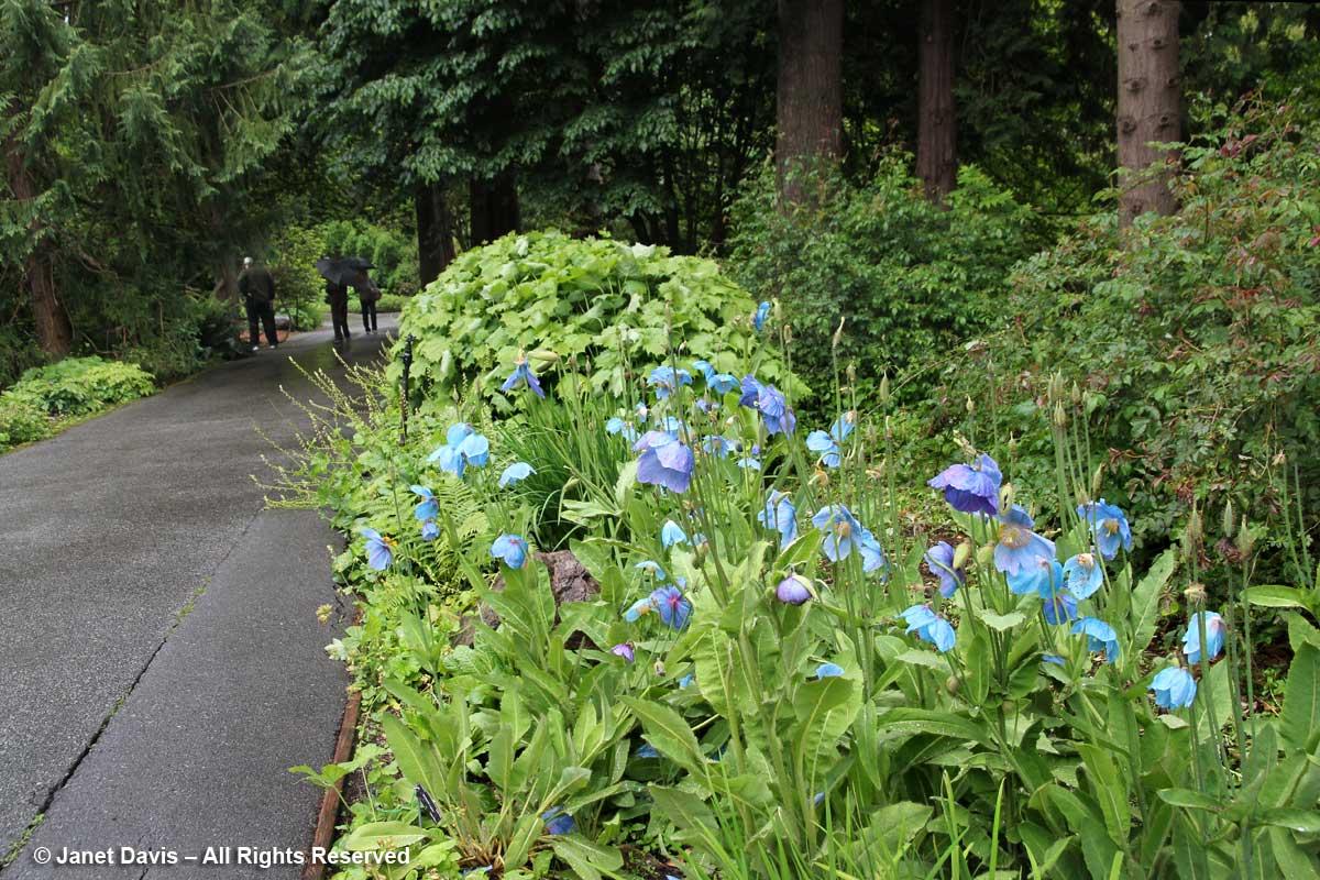 Meconopsis on path-David Lam Asian Garden-UBC Botanical