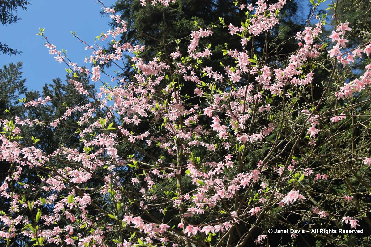 Melliodendron xylocarpum-parasol tree flowers-David Lam Asian Garden-UBC Botanical Garden