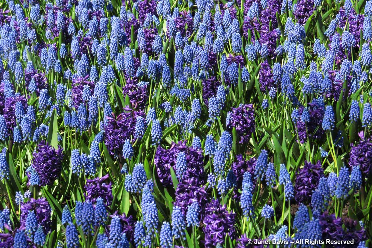 Muscari 'Blue Magic' & Hyacinth 'Rembrandt'-Tulip Festival-Commissioners Park-Ottawa