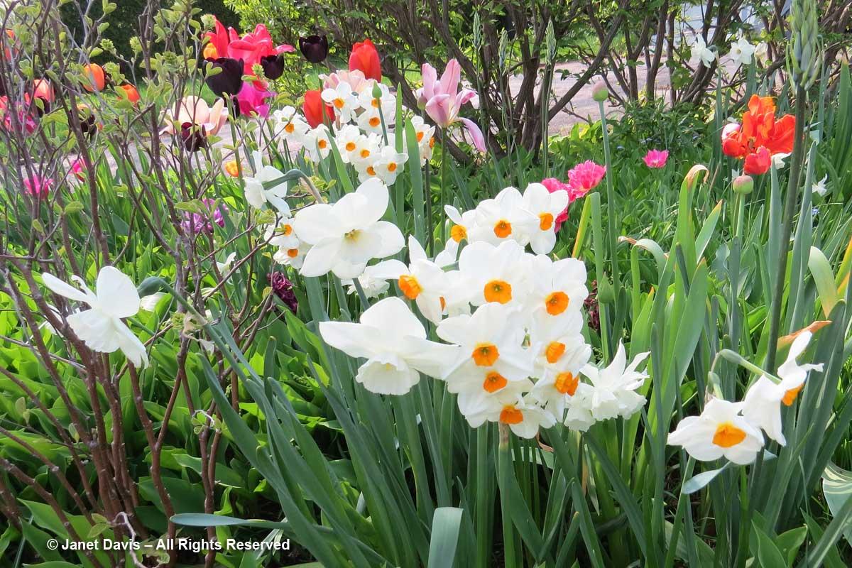 Narcissus 'Geranium'-Janet Davis garden-Toronto