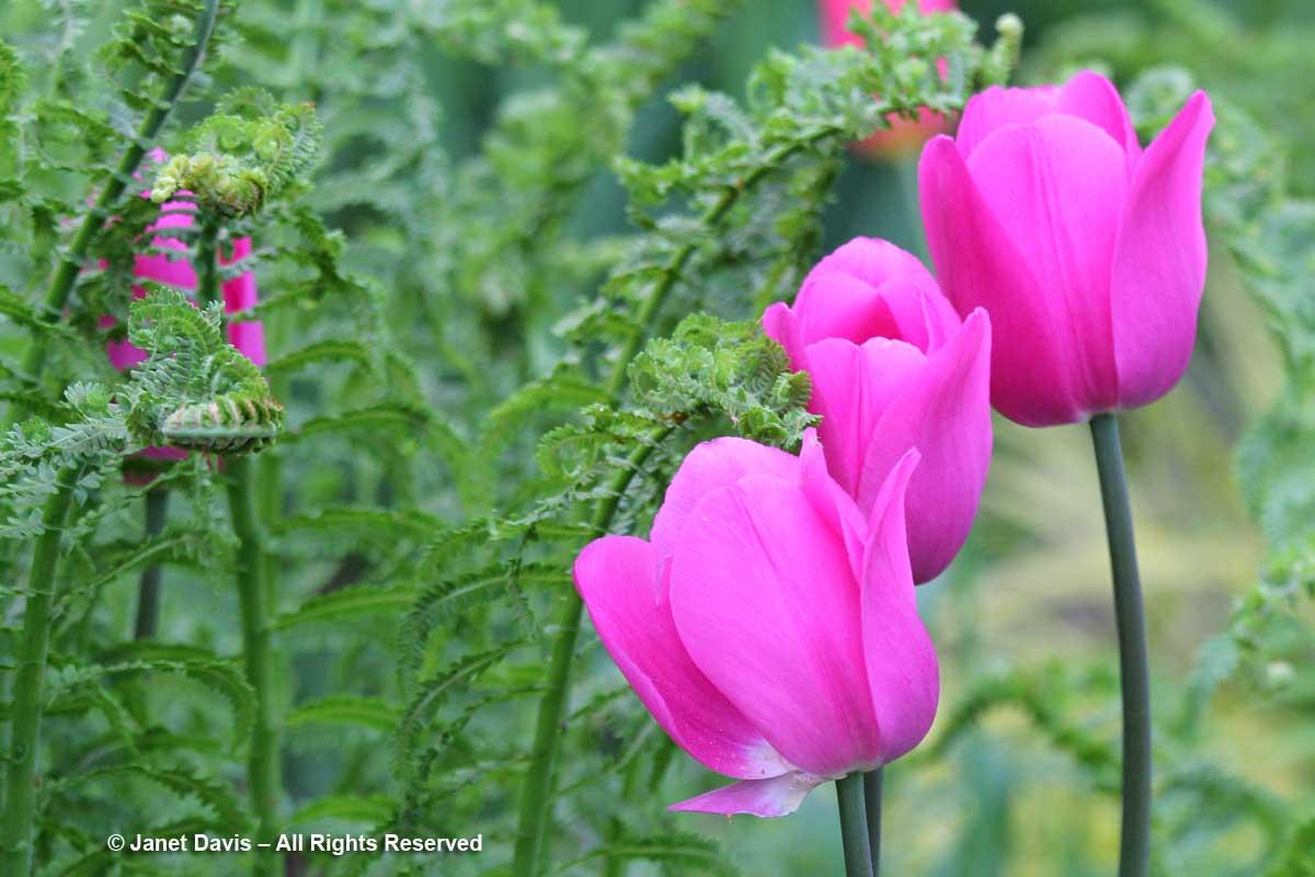 Pink tulips & Ostrich ferns-Janet Davis Garden