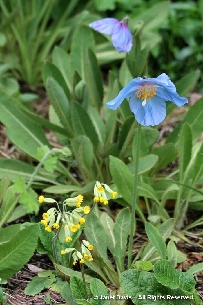 Primula veris & Meconopsis-David Lam Asian Garden-UBC Botanical