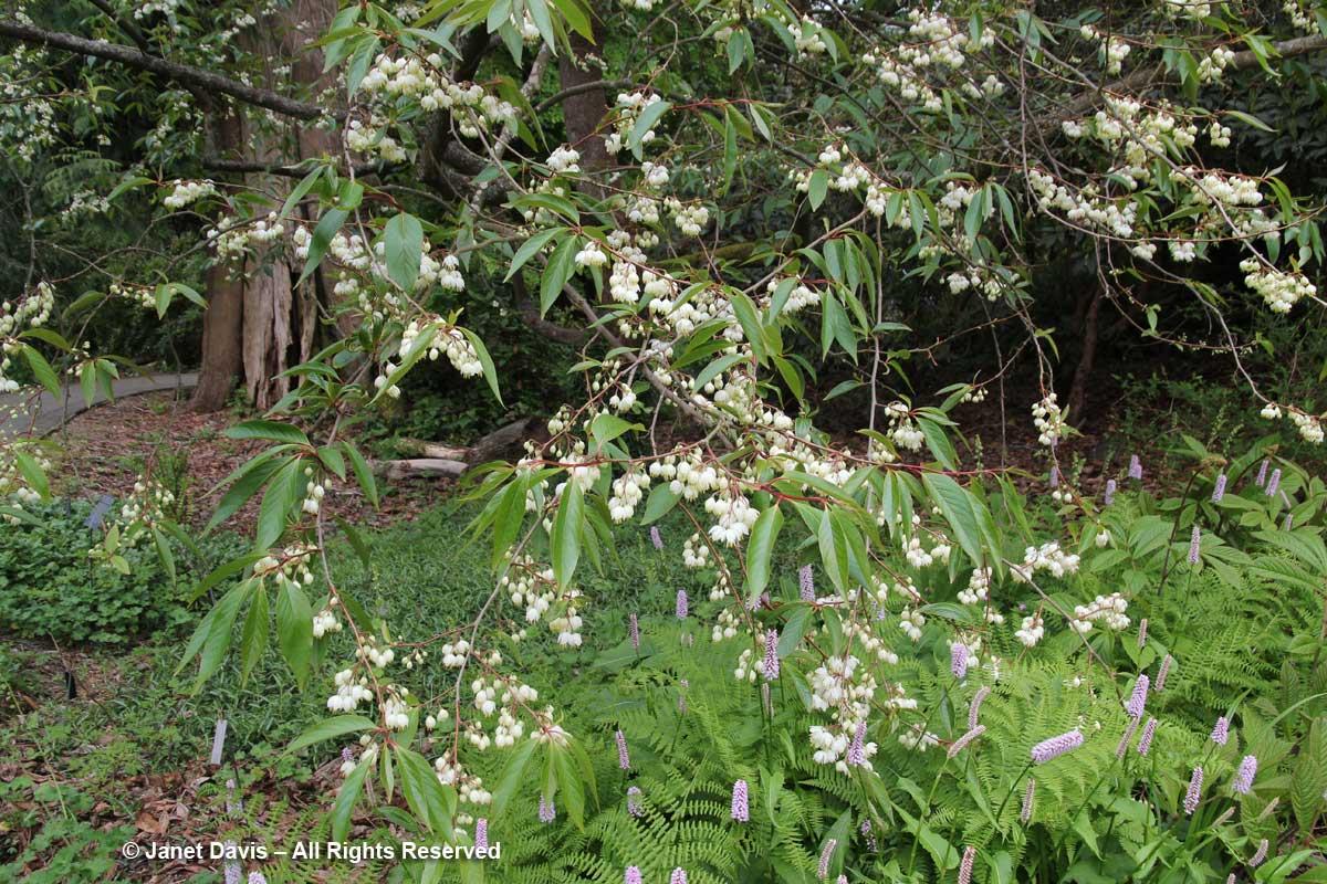 Rehderodendron macrocarpum-David Lam Asian Garden-UBC Botanical Garden