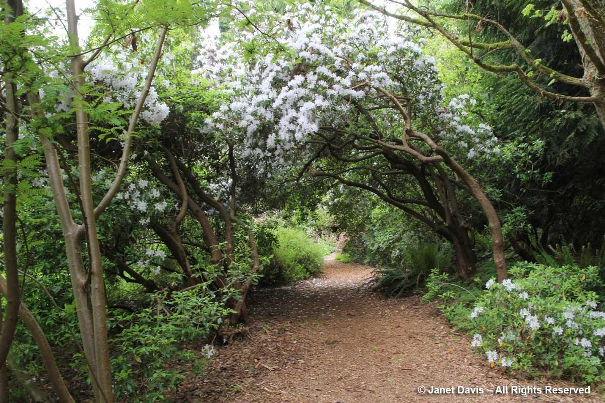 Rhododendron rigidum-David Lam Asian Garden-UBC Botanical
