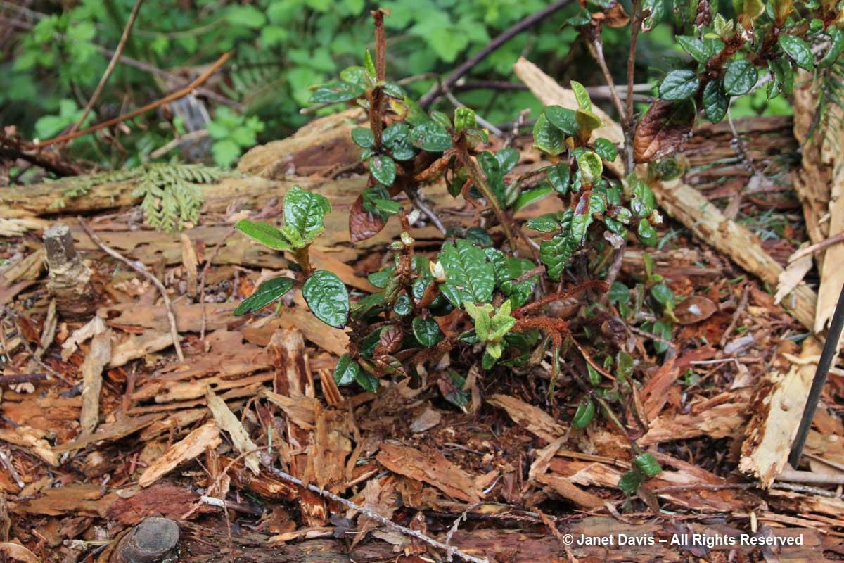 Rhododendron senghkuense-David Lam Asian Garden-UBC Botanical