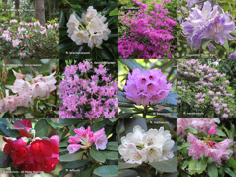 Rhododendrons-David C. Lam Asian Garden-UBC Botanical