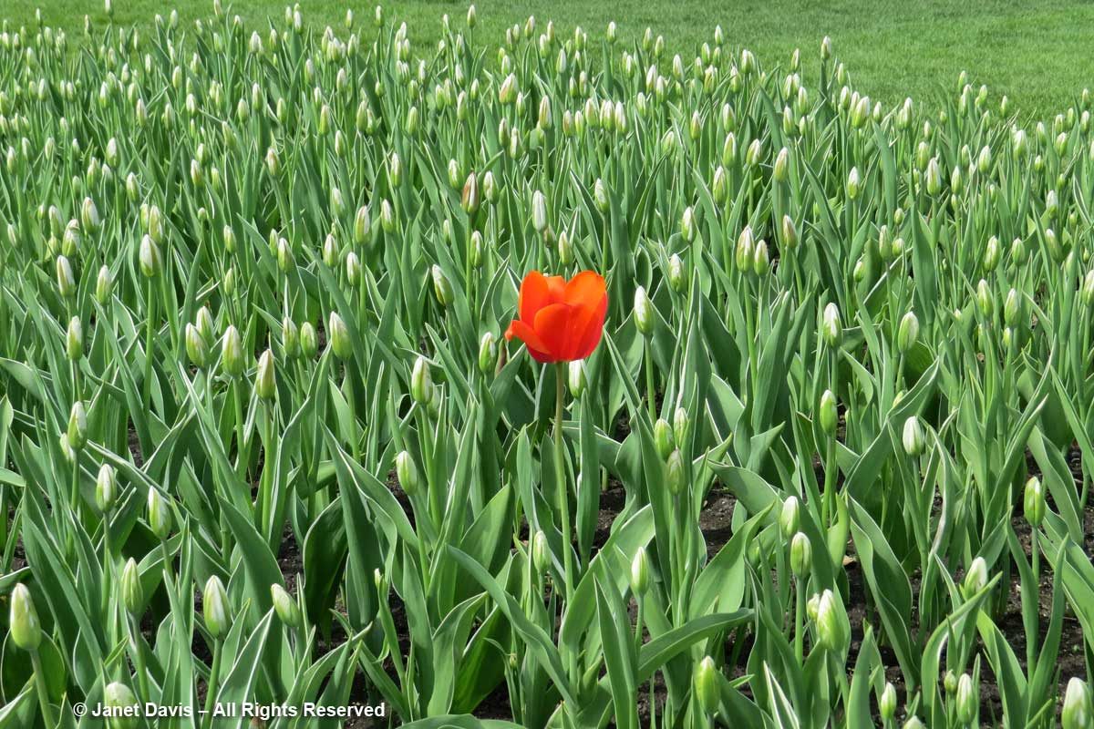 Single red tulip-Tulip Festival-Ottawa