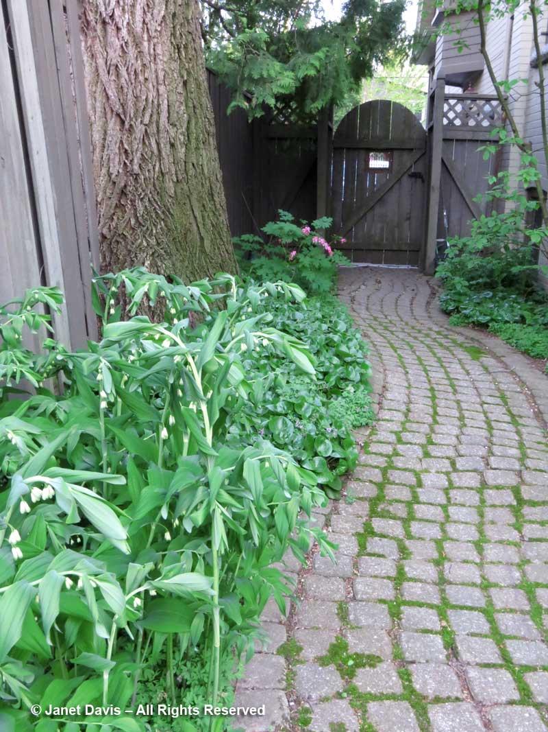 Solomon's Seals & path-Janet Davis garden