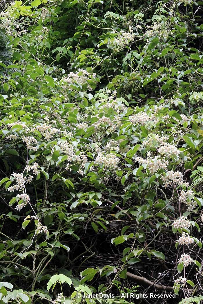 Stauntonia hexaphylla-David Lam Asian Garden-UBC Botanical