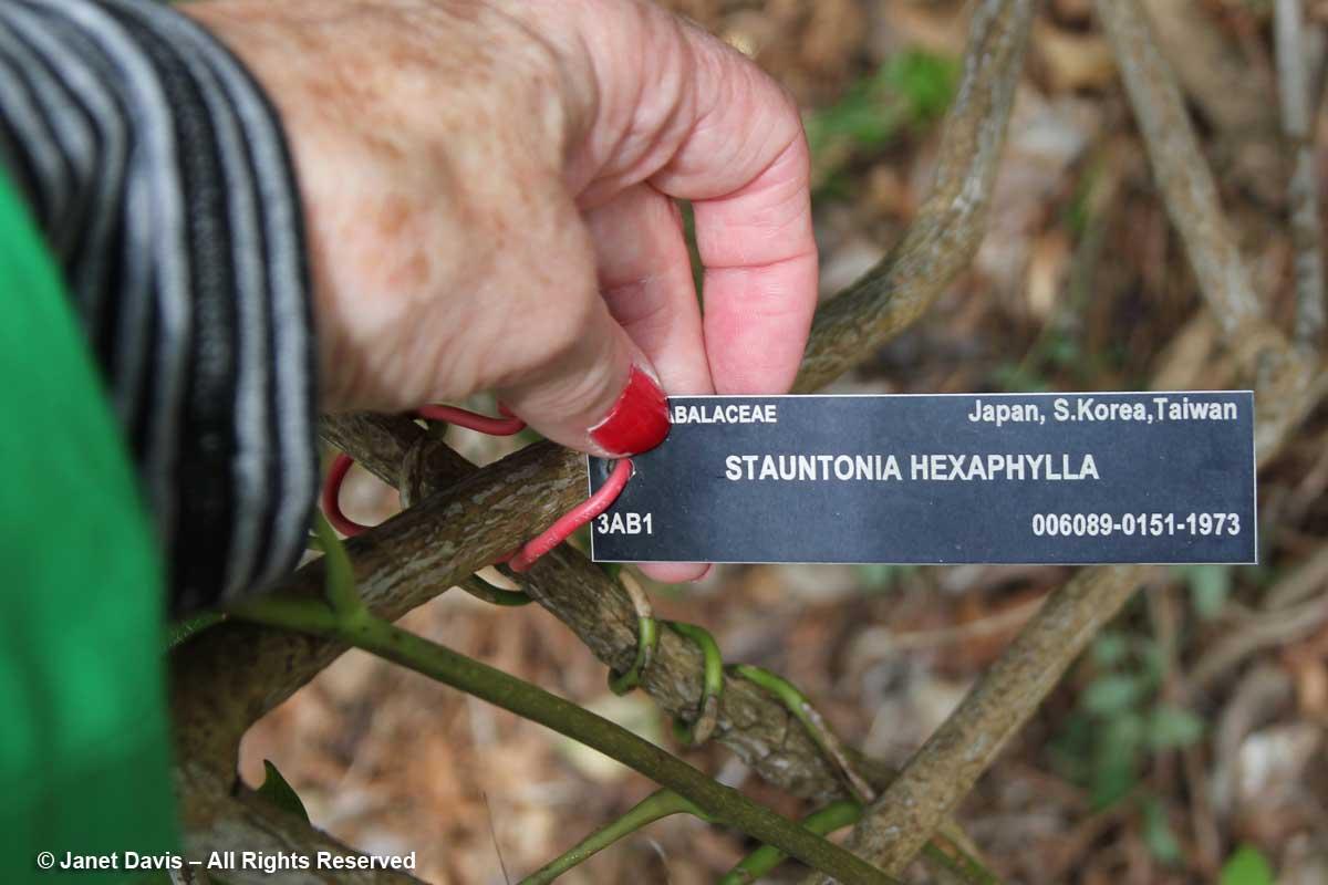 Stauntonia hexaphylla-label-David Lam Asian Garden-UBC Botanical