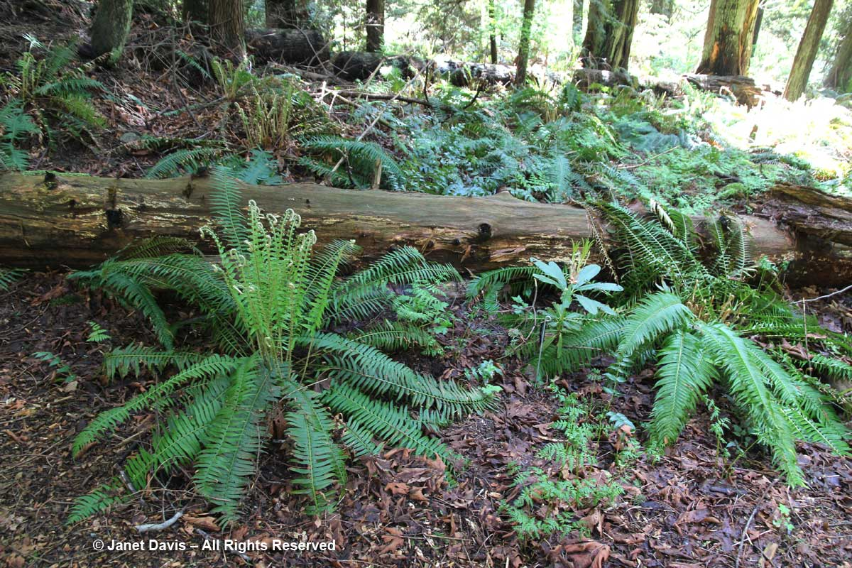 Sword ferns & rhododendron-David Lam Asian Garden-UBC Botanical