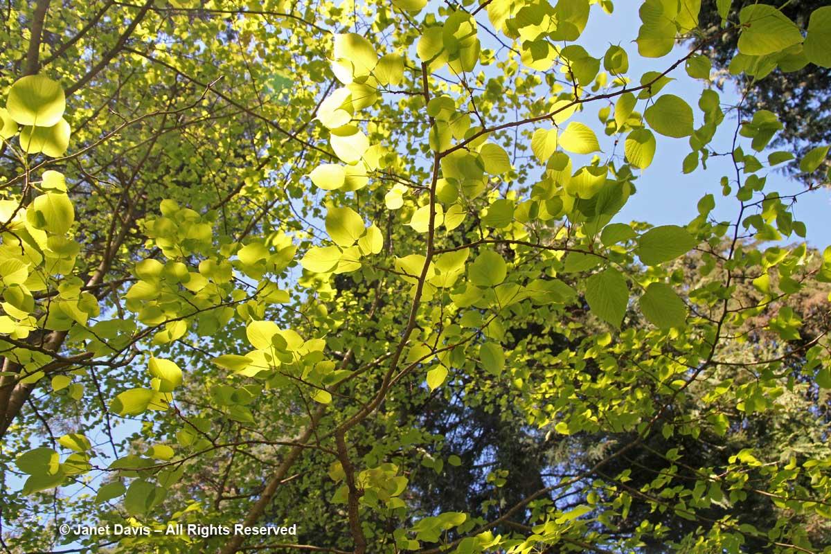 Tilia intonsa-David Lam Asian Garden-UBC Botanical Garden