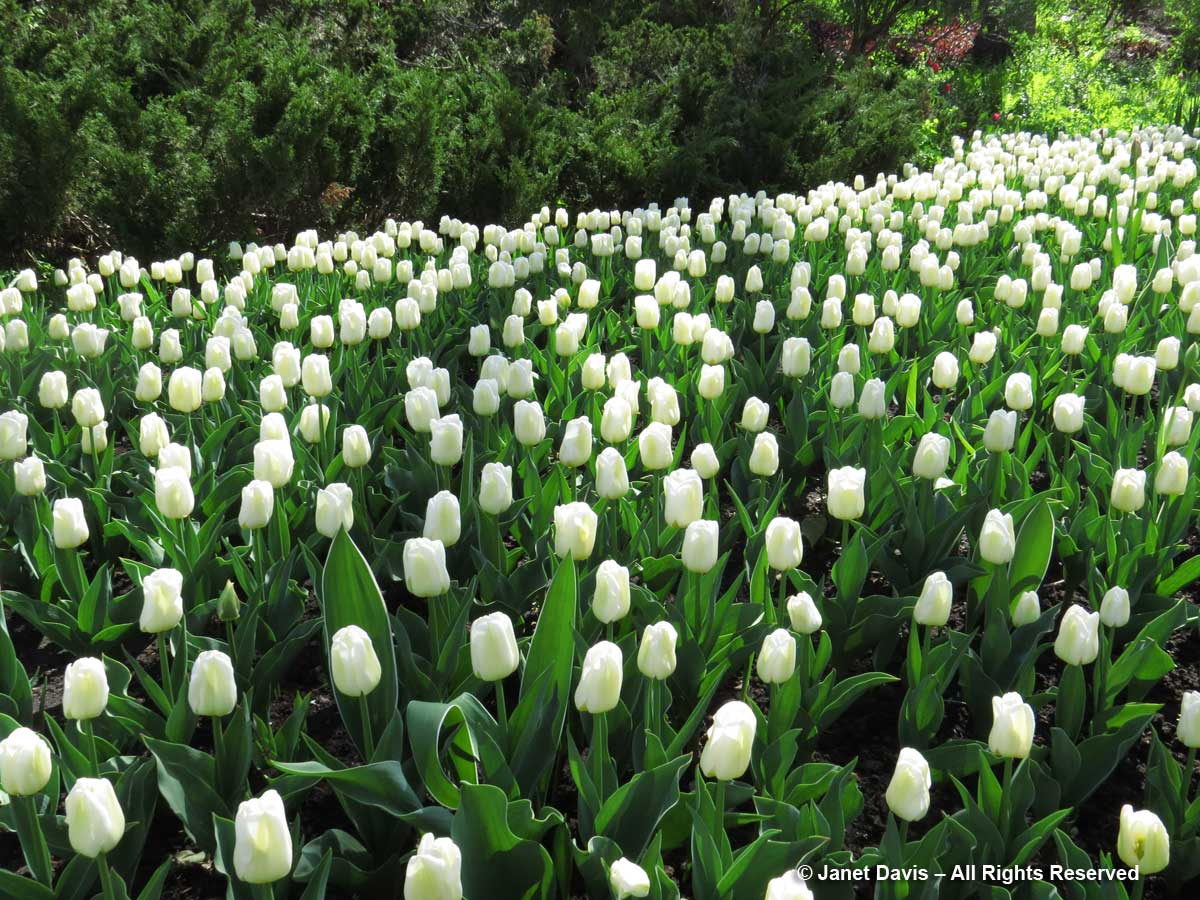 Tulipa 'Calgary'-Commissioners Park-Ottawa-Tulip Festsival