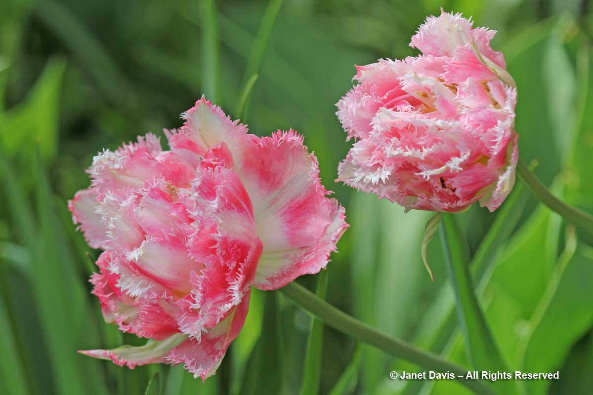 Tulipa 'Crispion Sweet'-Janet Davis garden-Toronto