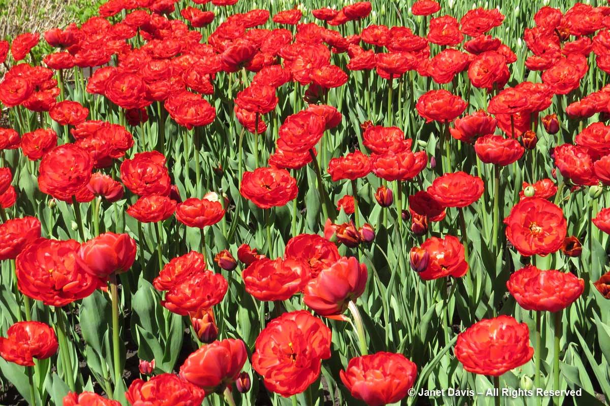 Tulipa 'Miranda'-Commissioners Park-Ottawa-Tulip Festival