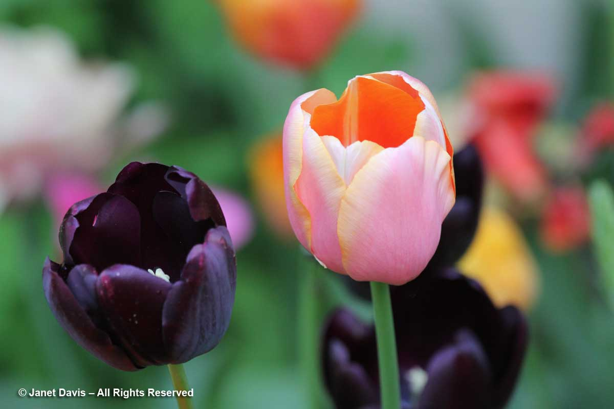 Tulipa 'Queen of Night' & 'Dordogne'-Janet Davis Garden-Toronto