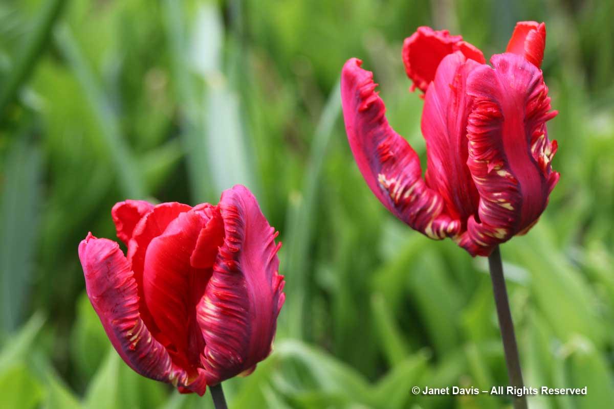 Tulipa 'Rococo'-Janet Davis garen-Toronto