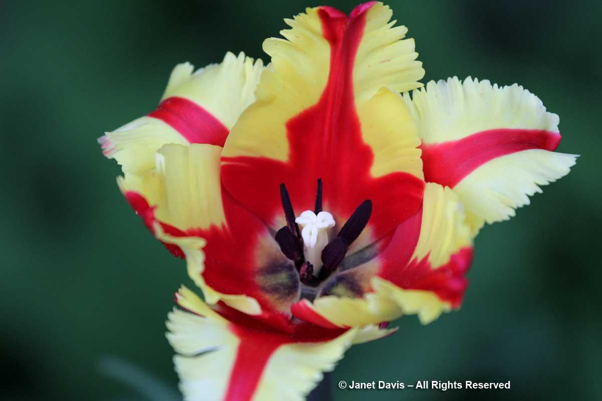 Tulipa 'Texas Flame'-Janet Davis Garden