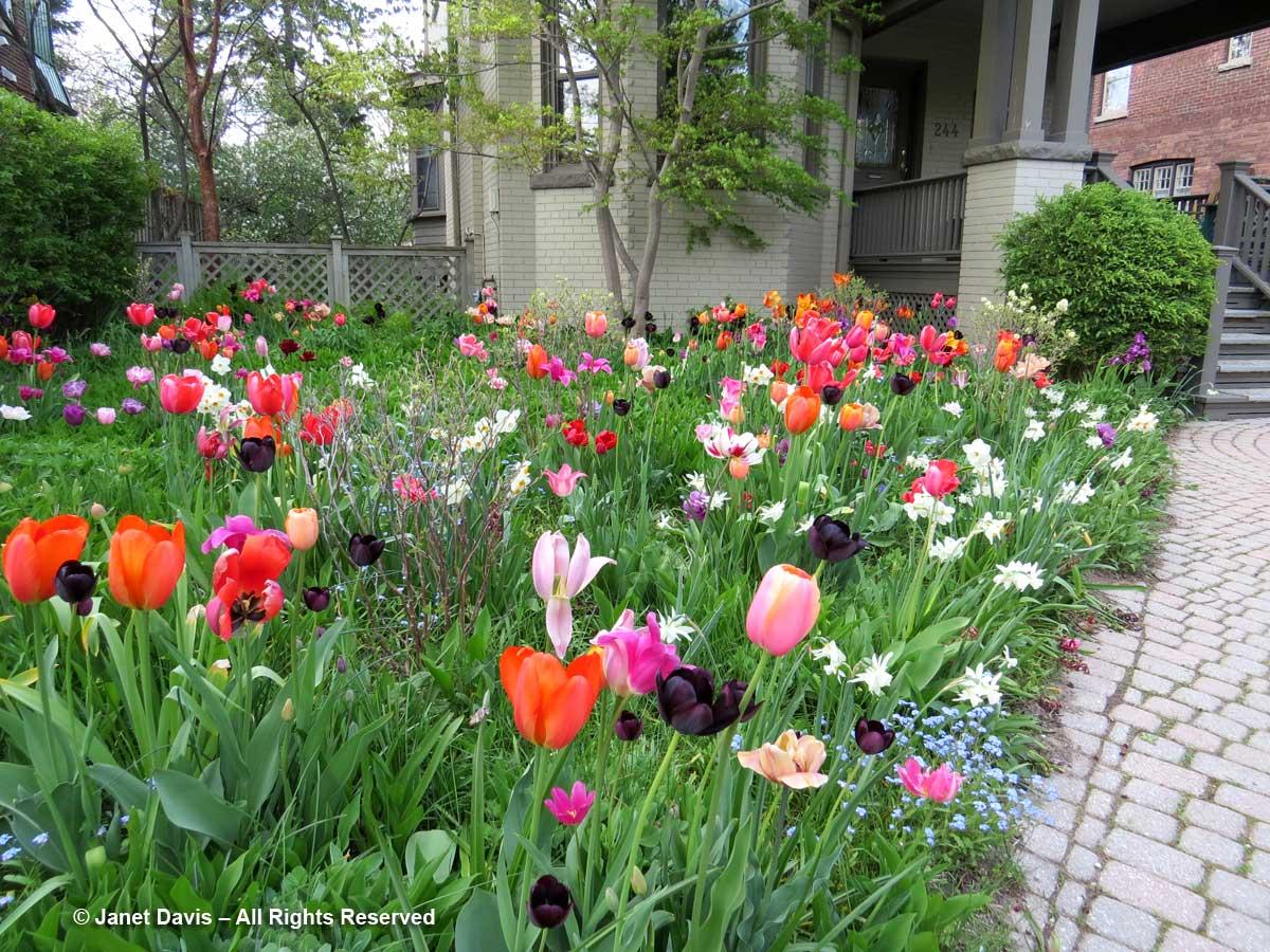 Tulips-Janet Davis Front Garden-Toronto