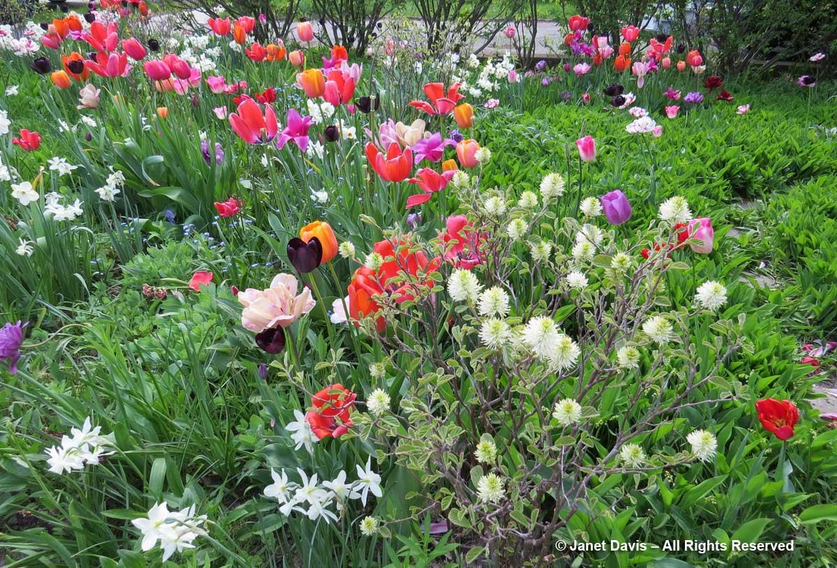 Tulips-Janet Davis Front Garden2-Toronto