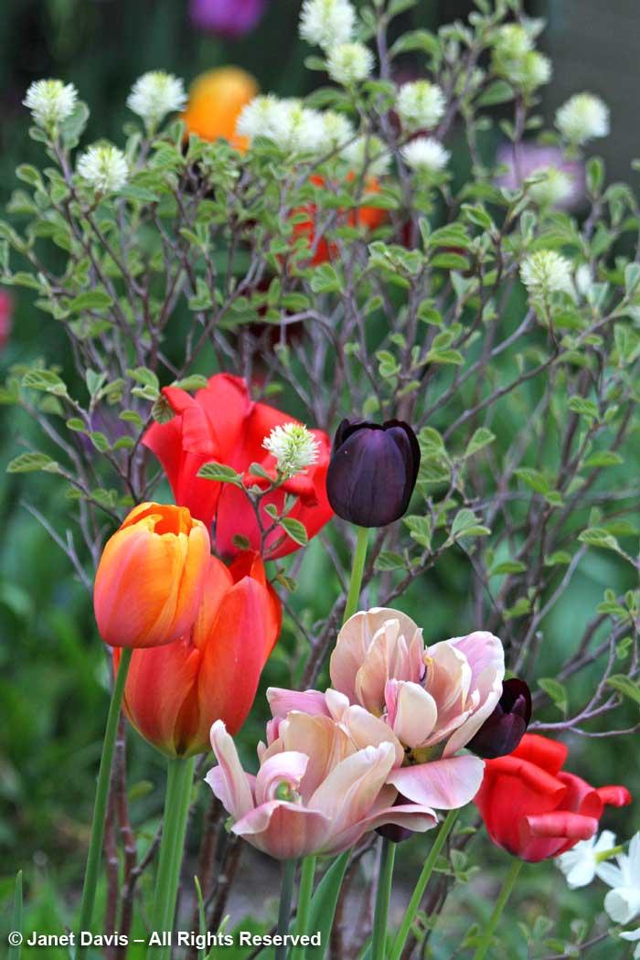 Tulips-Janet Davis front garden