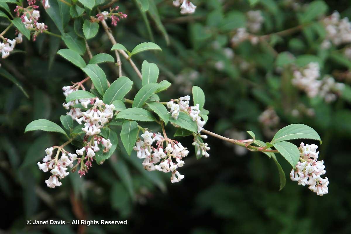 Viburnum chingii-David Lam Asian Garden-UBC Botanical Garden