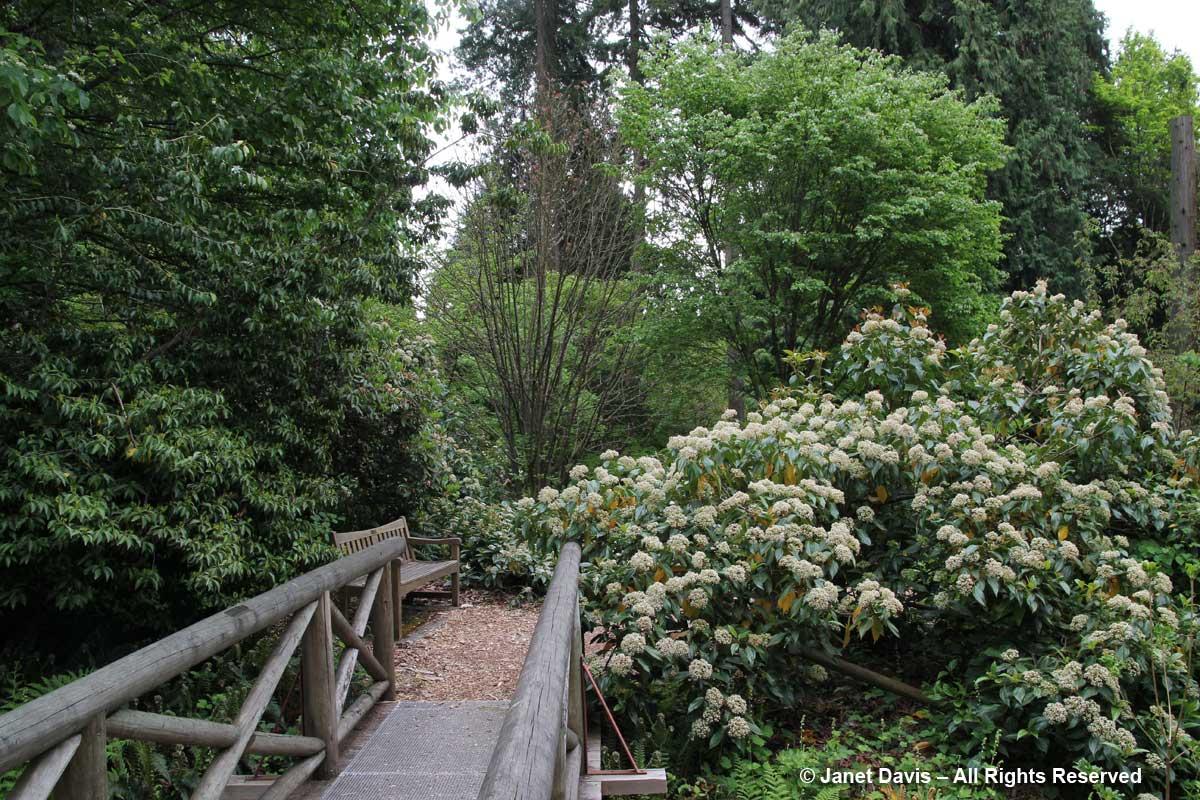 Viburnum cinnamomifolium-David Lam Asian Garden-UBC Botanical
