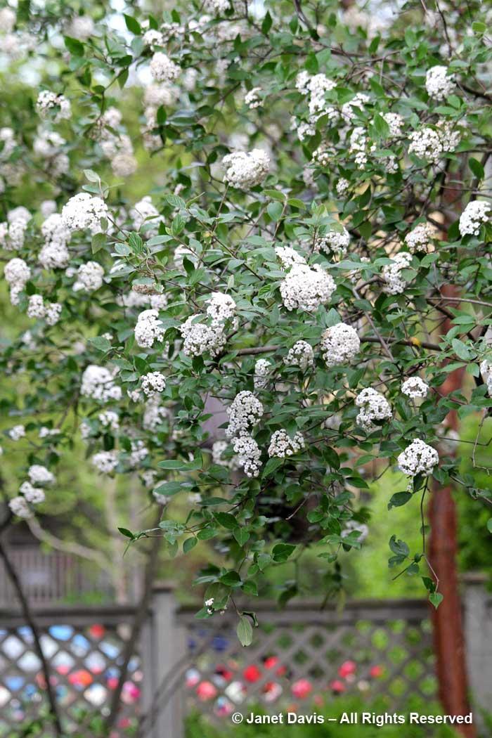 Viburnum x burkwoodii-Janet Davis-Toronto Garden