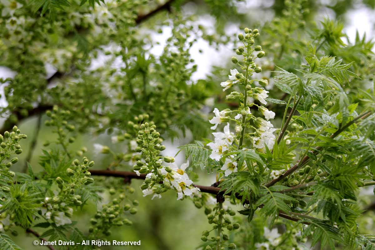 Xanthoceras sorbifolium-David Lam Asian Garden-UBC Botanical