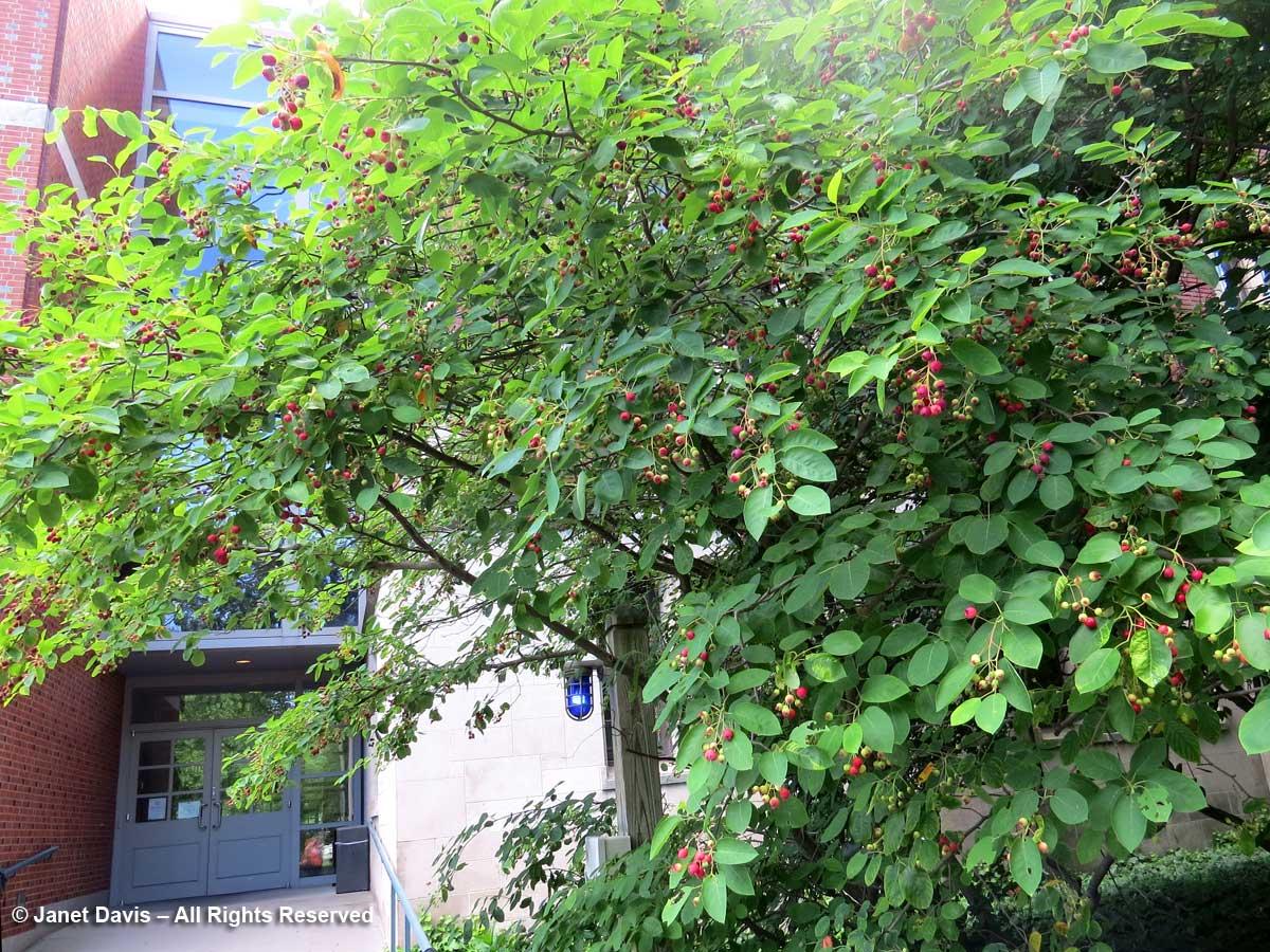 Amelanchier-Serviceberry-Frist Campus Center-Princeton