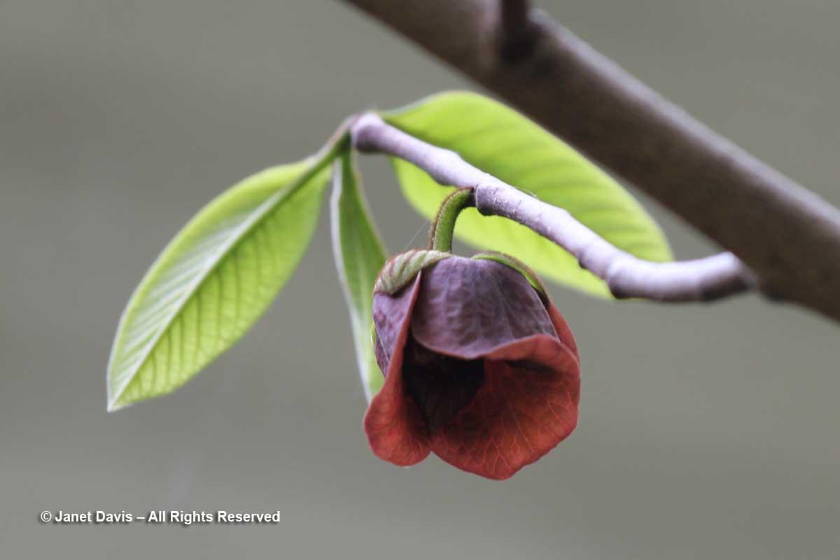 Asimina triloba-Paw paw flower