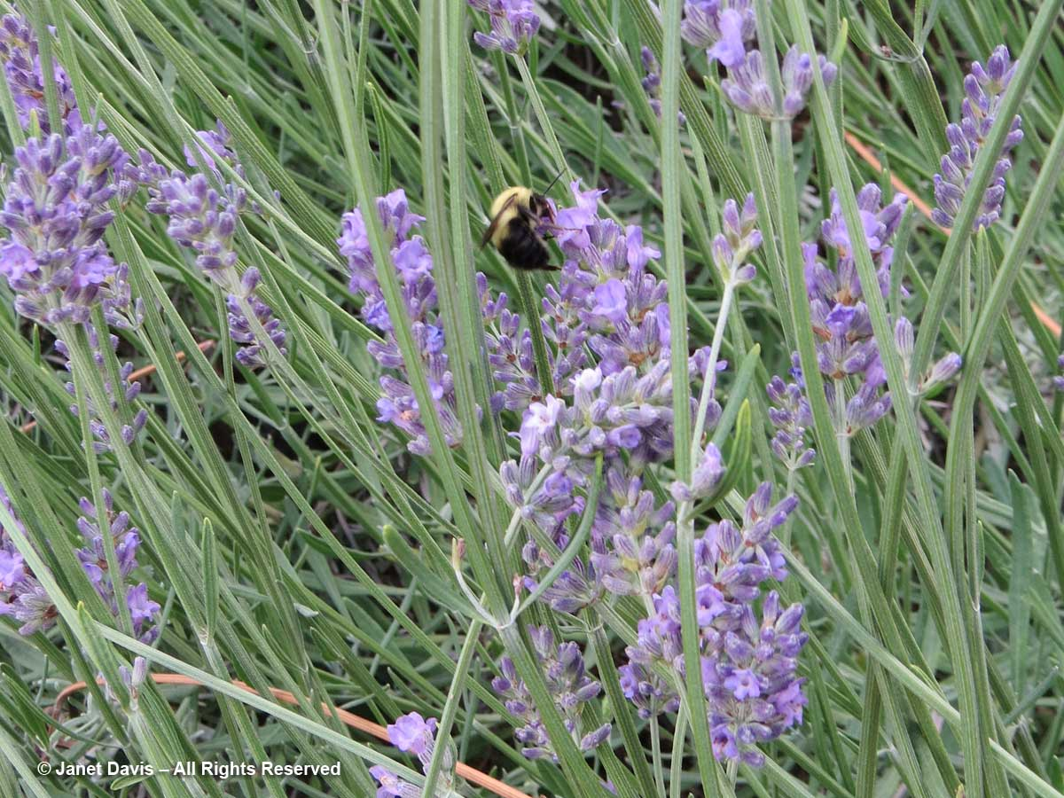 Bumble bee-lavender-Dumbarton Oaks