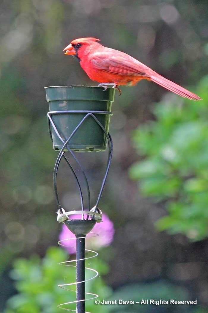 Cardinal male-flowerpot birdfeeder-Siri Luckow