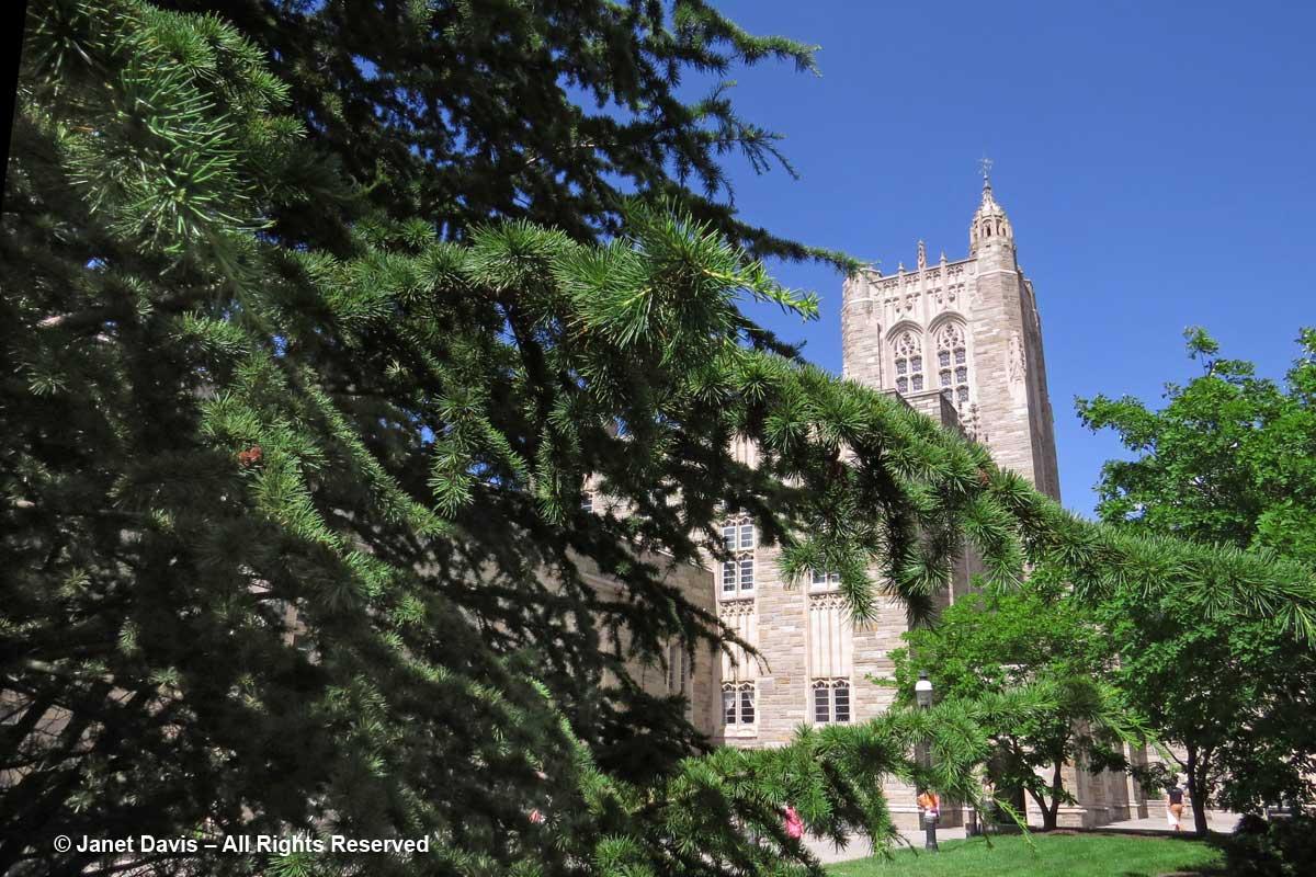 Cedrus libani-Cedar of Lebanon-Firestone Library-Princeton