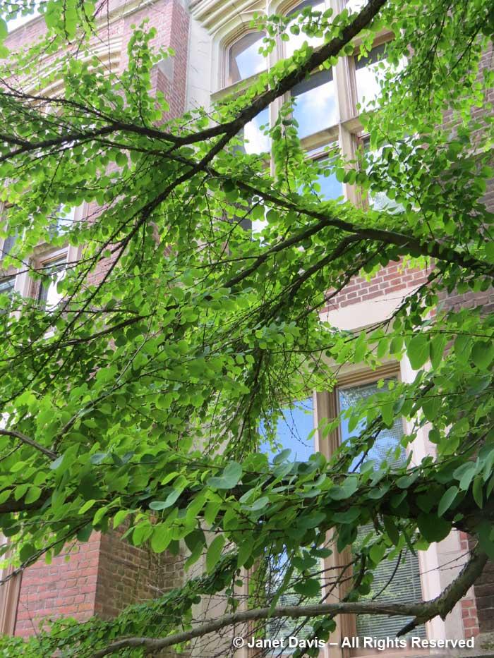 Cercidiphyllum japonicum-Katusra-Moffett Lab-Princeton (2)