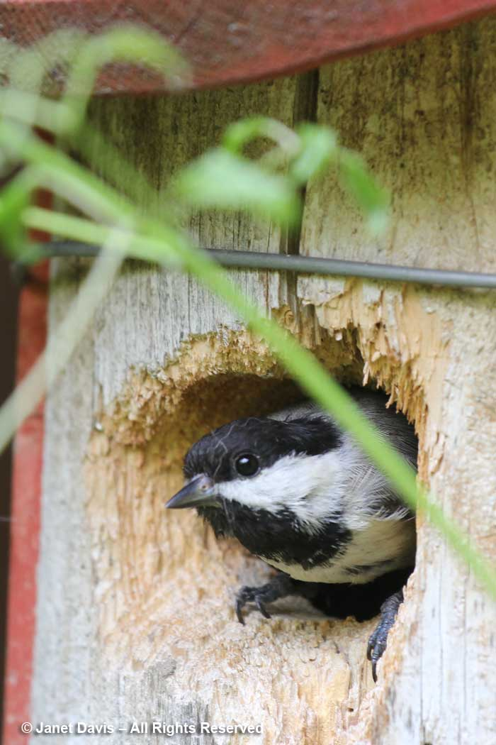 Chickadee nesting box-Siri Luckow
