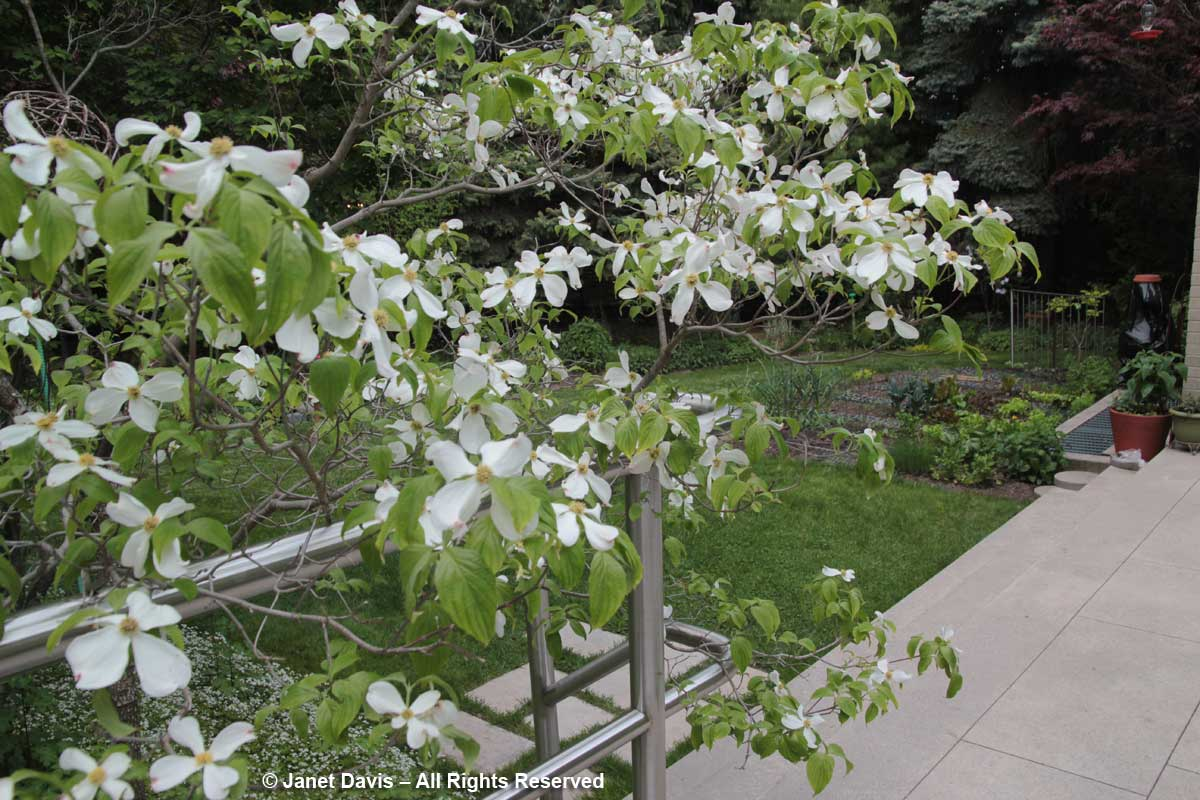 Cornus florida-Flowering dogwood