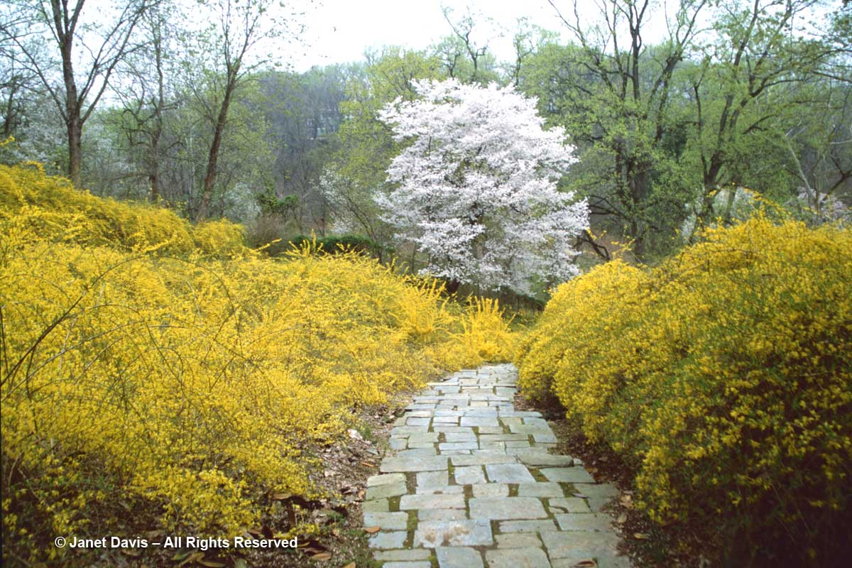 Dumbarton Oaks-Forsythia Dell-Beataris Farrand